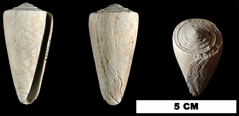 <i>Conus paranobilis</i> from the Late Pliocene Tamiami Fm. (Pinecrest Beds) of Sarasota County, Florida (UF 111423).