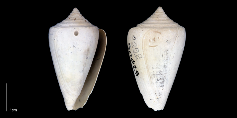 <i>Conus spurius</i> from the Late Pliocene Tamiami Fm. (Pinecrest Beds) of Sarasota County, Florida (PRI 70342).