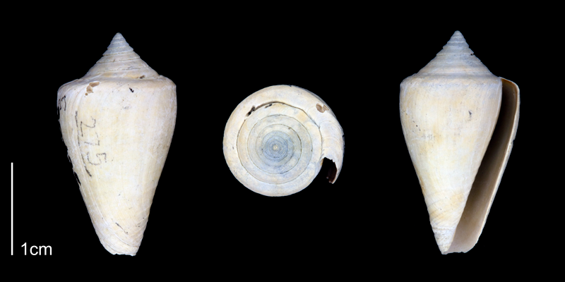 <i>Conus spurius</i> from the Late Pliocene Tamiami Fm. (Pinecrest Beds) of Sarasota County, Florida (PRI 70343-1).