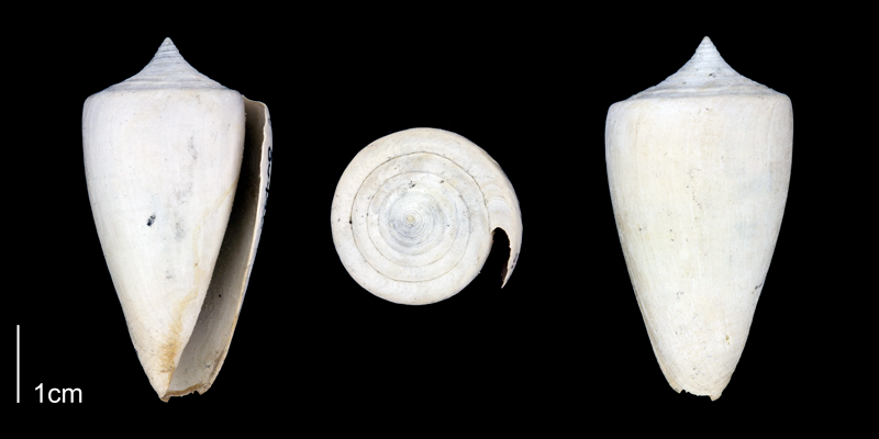 <i>Conus spurius</i> from the Late Pliocene Tamiami Fm. (Pinecrest Beds) of Sarasota County, Florida (PRI 70343-2).