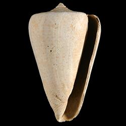 Conus spurius
