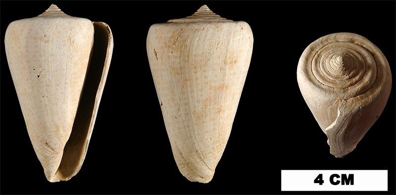 <i>Conus spurius</i> from either the Early Pleistocene Caloosahatchee Fm. or Late Pleistocene Fort Thompson Fm. of Hendry County, Florida (UF 15085).