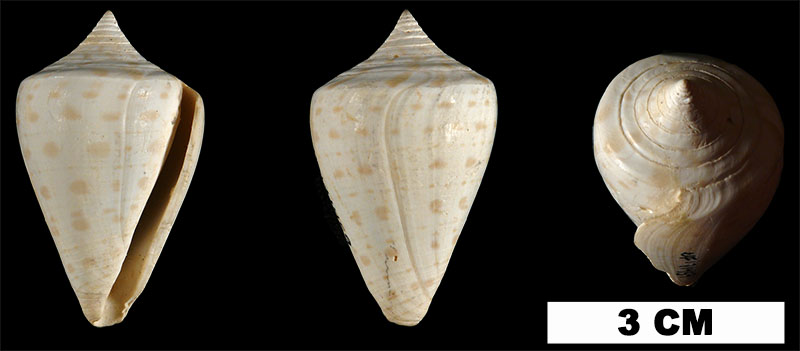 <i>Conus spuroides</i> from the Early Pleistocene Caloosahatchee Fm. of Palm Beach County, Florida (UF 171459).