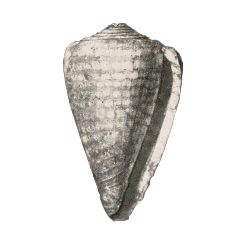 Specimen of <i>Conus yaquensis</i> figured by Pilsbry (1921, pl. 21, fig. 6); 49 mm in length.