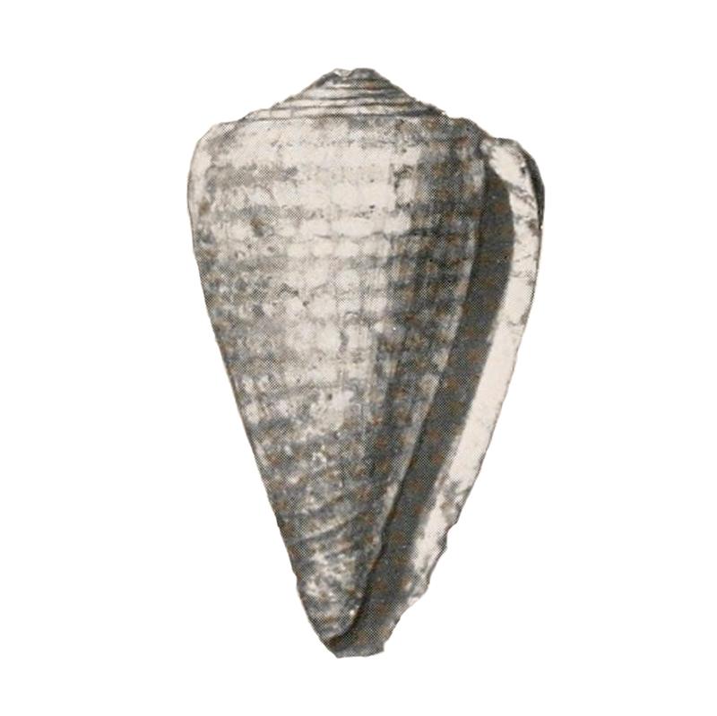 Specimen of <i>Conus yaquensis</i> figured by Pilsbry (1921, pl. 21, fig. 6); 49 mm in length.