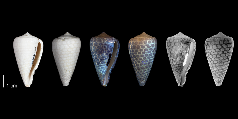 <i>Conus yaquensis</i> from the upper Pliocene Tamiami Fm. (Pinecrest Beds) of Hendry County, Florida, showing a net-like coloration pattern that is revealed by ultraviolet light (PRI 54689).