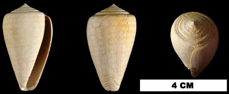 <i>Conus yaquensis</i> from the Plio-Pleistocene (formation unknown) of Sarasota County, Florida (UF 57273).