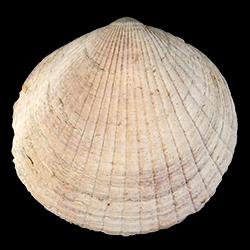 Costaglycymeris subovata