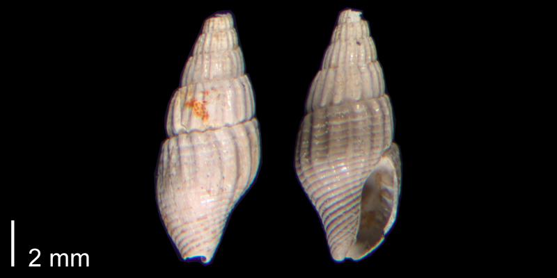 <i>Costoanachis avara</i> (PRI 70488).