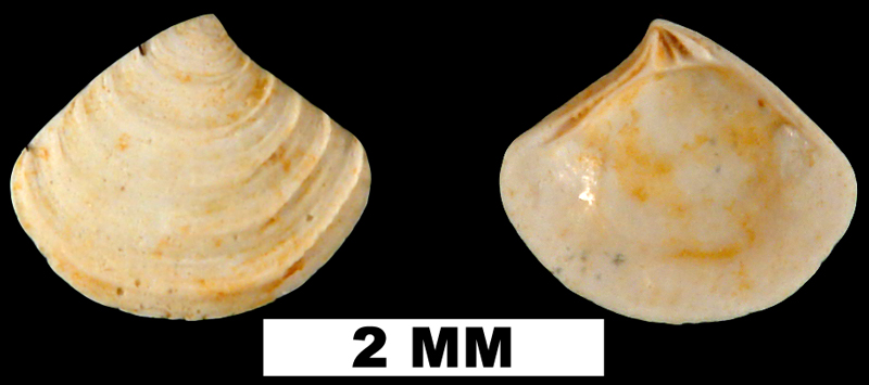 <i>Crassinella triangulata</i> from the Early Miocene Chipola Fm. of Calhoun County, Florida (UF 189579).