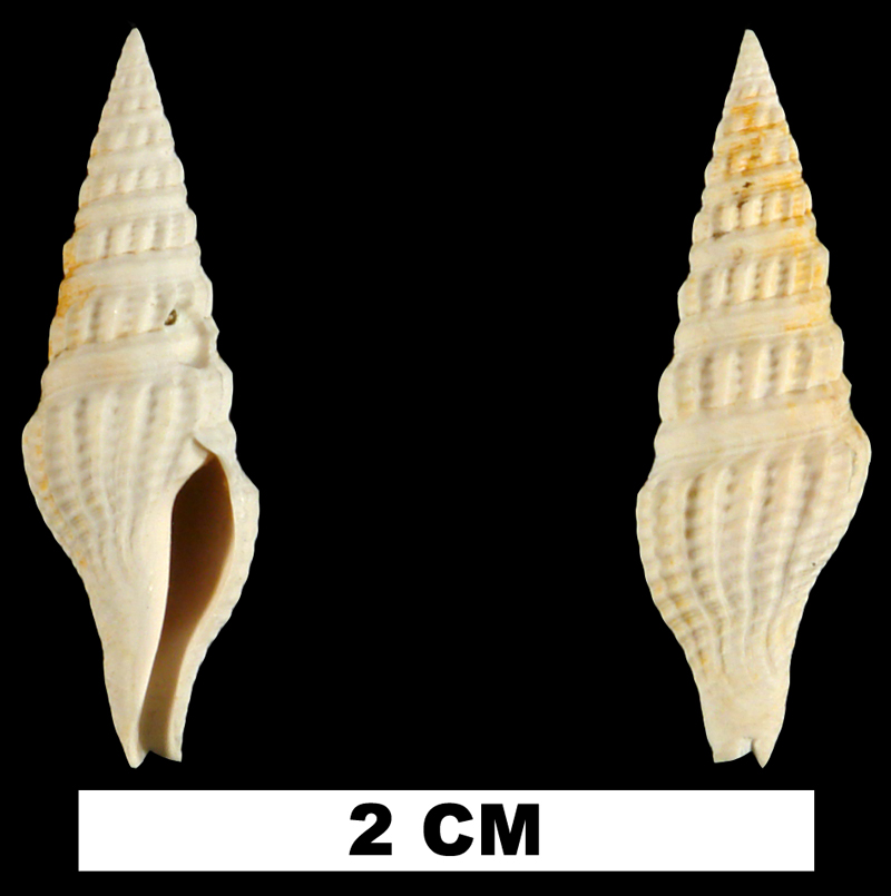 <i>Crassispira calligona</i> from the Early Miocene Chipola Fm. of Calhoun County, Florida (UF 72932).