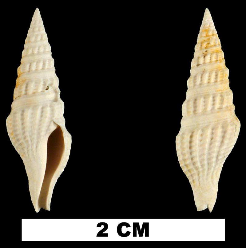 <i>Crassispira calligona</i> from the Early Miocene Chipola Fm. of Calhoun County, Florida (UF 72932).