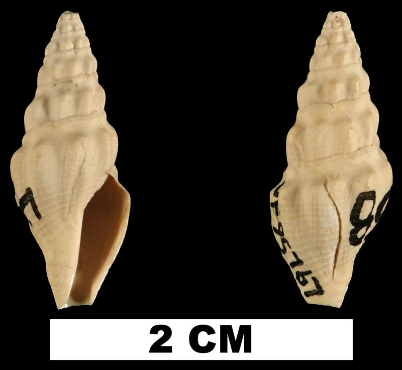 <i>Crassispira meunieri</i> from the Early Miocene Chipola Fm. of Calhoun County, Florida (UF 95767).