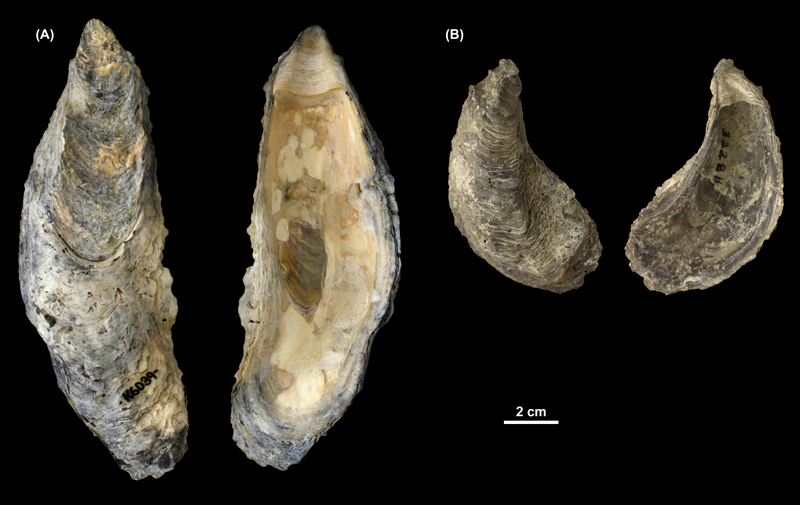 <i>Crassostrea virginica</i> left valves from (A) the Pleistocene Talbot Fm. of St. Mary's County, Maryland (PRI 69993) and (B) the Pliocene Tamiami Fm. of Florida (unknown county; PRI 69994).