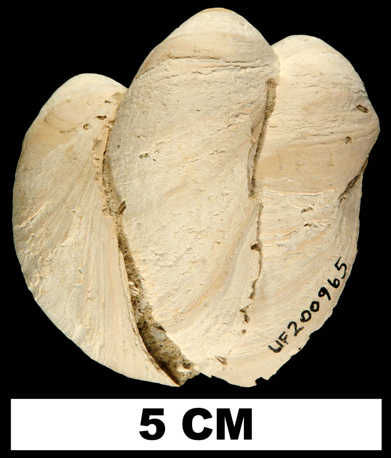 Multiple specimens of <i>Crepidula fornicata</i> from the Early Pleistocene Nashua Fm. of St. Johns County, Florida (UF 200965).