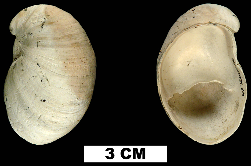 <i>Crepidula fornicata</i> from the Early Pleistocene Nashua Fm. of St. Johns County, Florida (UF 200966).