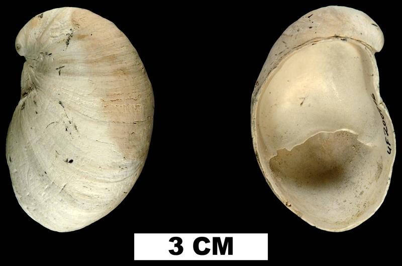 <i>Crepidula fornicata</i> from the Early Pleistocene Nashua Fm. of St. Johns County, Florida (UF 200966).
