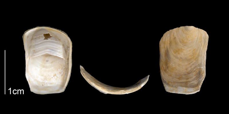 <i>Crepidula plana</i> from the Late Pliocene Tamiami Fm. (Pinecrest Beds) of Sarasota County, Florida (PRI 70089).