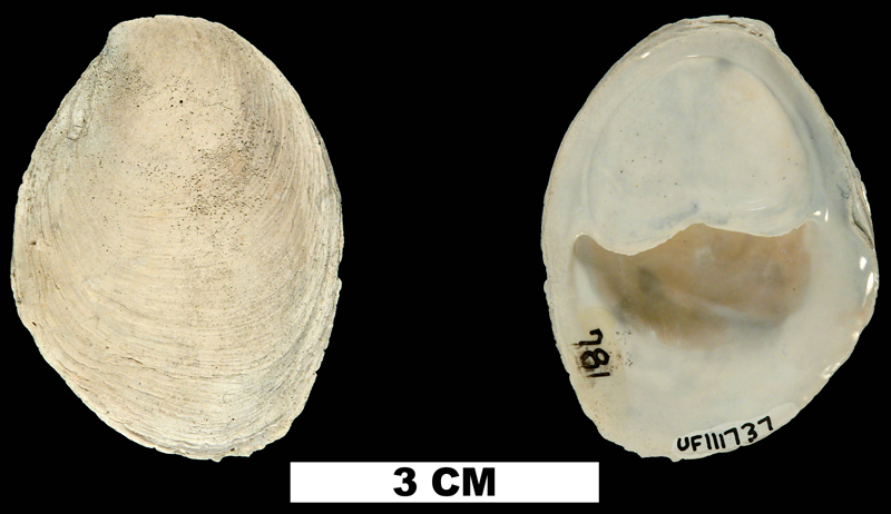 <i>Crepidula plana</i> from the Late Pliocene Tamiami Fm. (Pinecrest Beds) of Sarasota County, Florida (UF 111737).