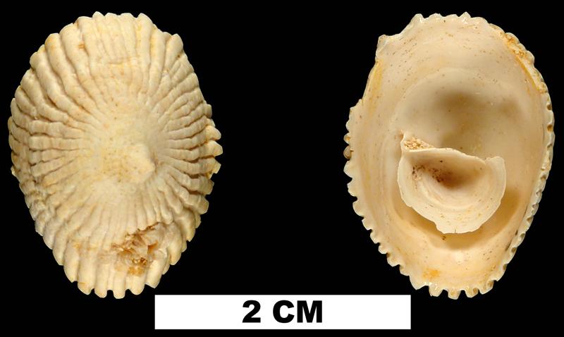 <i>Crucibulum chipolanum</i> from the Early Miocene Chipola Fm. of Calhoun County, Florida (UF 67750).
