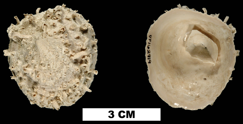 <i>Crucibulum spinosum</i> from the Early Pleistocene Caloosahatchee Fm. of Glades County, Florida (UF 162919).