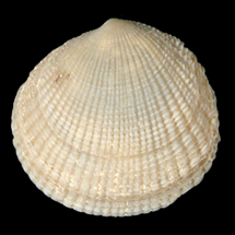 Ctena orbiculata