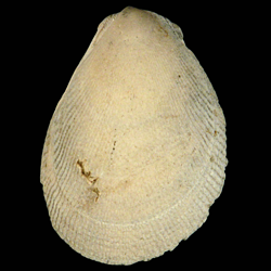 Ctenoides