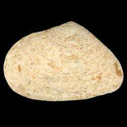 Cumingia tellinoides