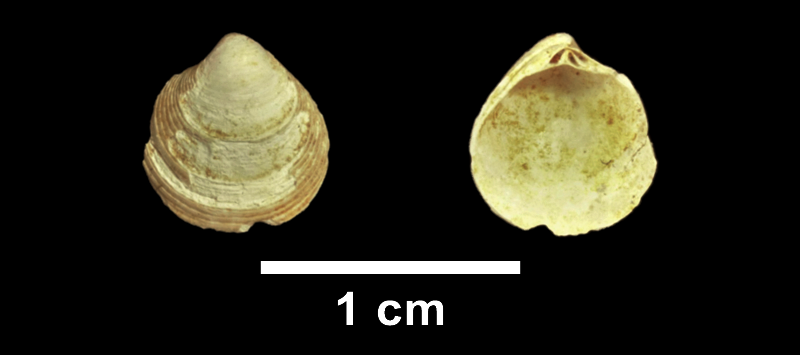 <i>Cyclinella tenuis</i> from the Late Pliocene Yorktown Fm. of Isle of Wight County, Virginia (SDSM 113500).