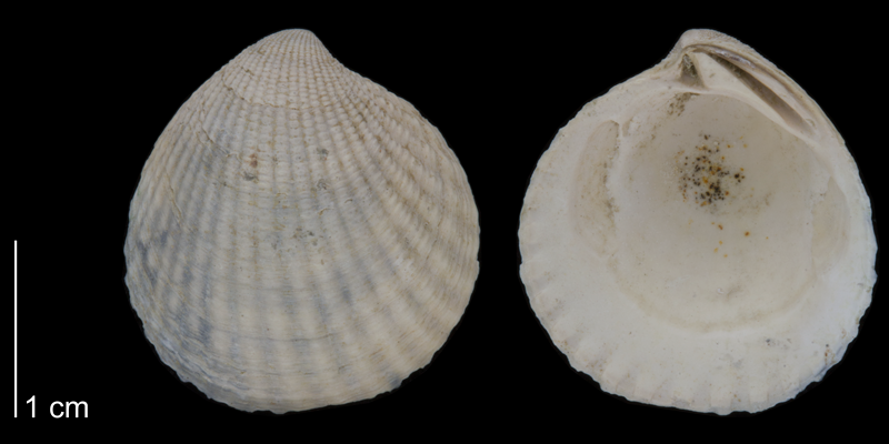 <i>Cyclocardia granulata</i> from the Early Pleistocene James City Fm. of Beaufort County, North Carolina (PRI 70471).