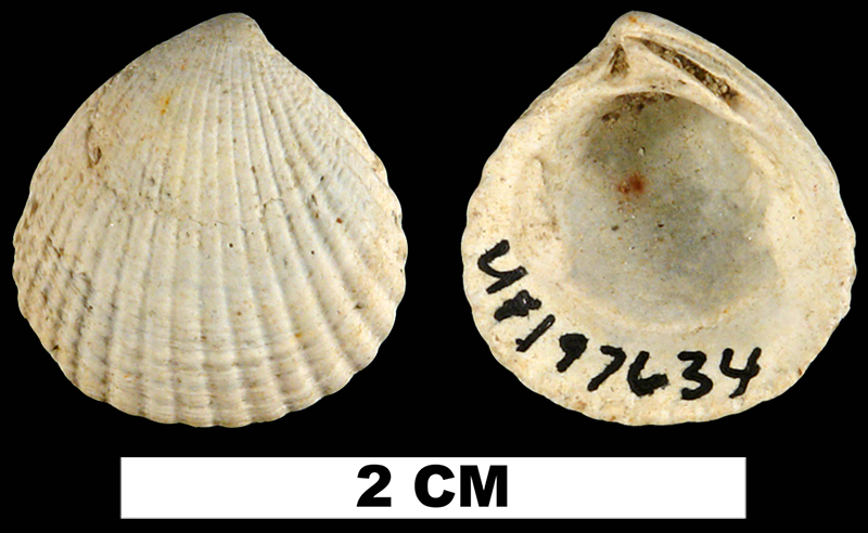 <i>Cyclocardia granulata</i> from the Late Pliocene Raysor Formation of Darlington County, Florida (UF 197634).