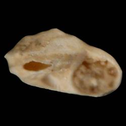 Cyclostremiscus bartschi