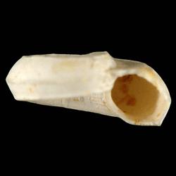 Cyclostremiscus pentagonus