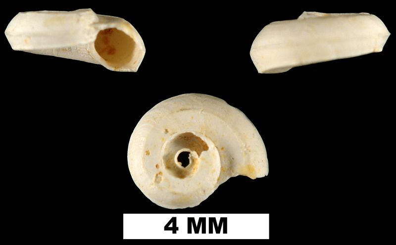 <i>Cyclostremiscus pentagonus</i> from the Early Miocene Chipola Fm. of Calhoun County, Florida (UF 93739).