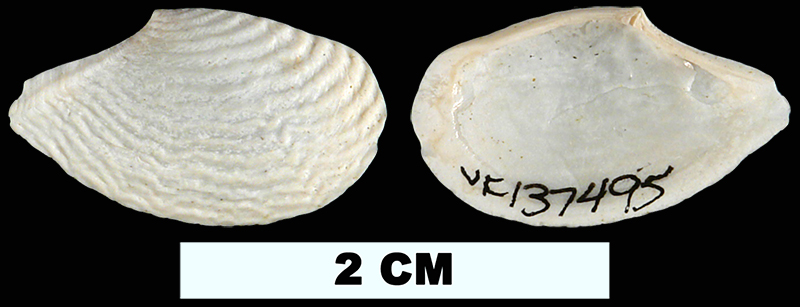 <i>Cymatoica marcottae</i> from the Late Pliocene Tamiami Fm. (Pinecrest Beds) or Early Pleistocene Caloosahatchee Fm. of Okeechobee County, Florida (UF 137495).