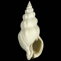 Cymatophos lindae