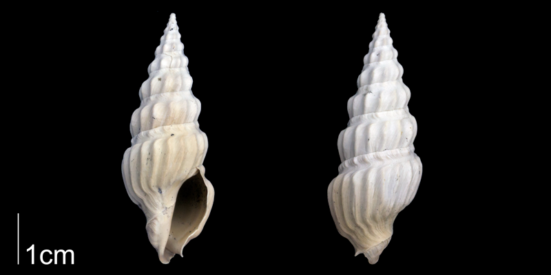 <i>Cymatosyrinx aclinica</i> from the Late Pliocene Tamiami Fm. (Pinecrest Beds) of Sarasota County, Florida (PRI 70072).