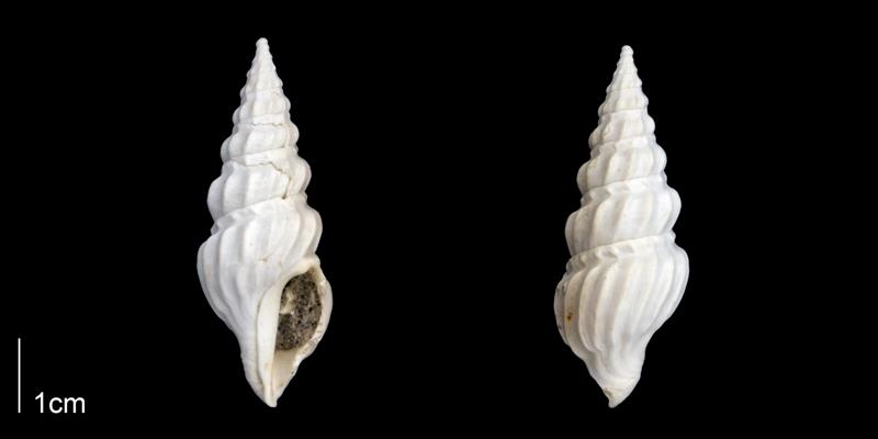 <i>Cymatosyrinx aclinica</i> from the Late Pliocene Tamiami Fm. (Pinecrest Beds) of Sarasota County, Florida (PRI 70275).