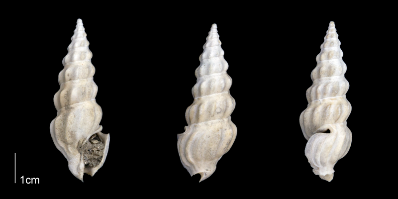 <i>Cymatosyrinx lunata</i> from the Late Pliocene Tamiami Fm. (Pinecrest Beds) of Sarasota County, Florida (PRI 70276).