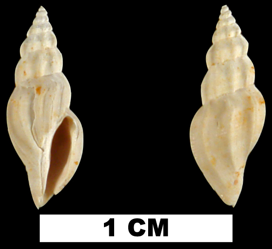 <i>Cytharella isabellae</i> from the Early Miocene Chipola Fm. of Calhoun County, Florida (UF 119983).