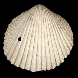Dallocardia
