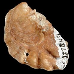 Dendostrea