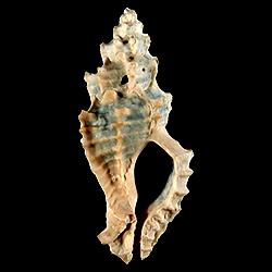 Dermomurex alabastrum