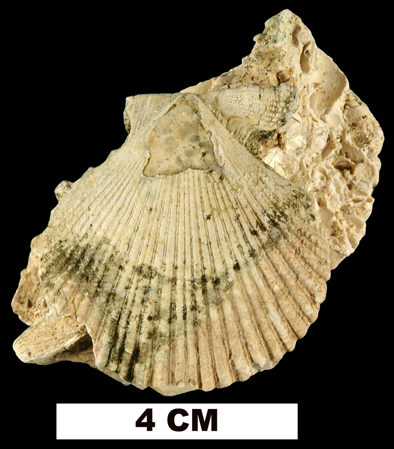 <i>Dimarzipecten crocus</i> from the Early Miocene Penney Farms Fm. of Marion County, Florida (UF 198959).