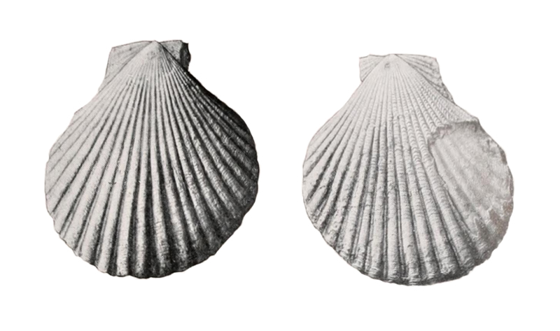 Specimen of <i>Dimarzipecten crocus</i> figured by Cooke (1919, pl. 9, fig. 2a and 2b).