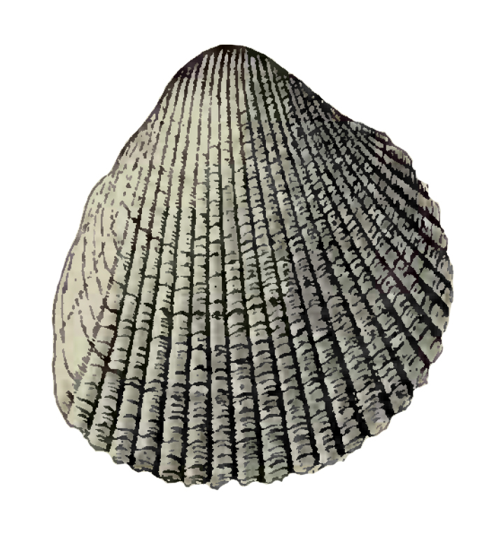 Specimen of <i>Dinocardium chipolanum</i> figured by Dall (1900, pl. 40, fig. 8); 36.0 mm in length.