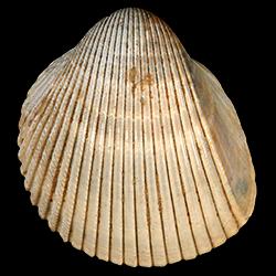 Dinocardium chipolanum