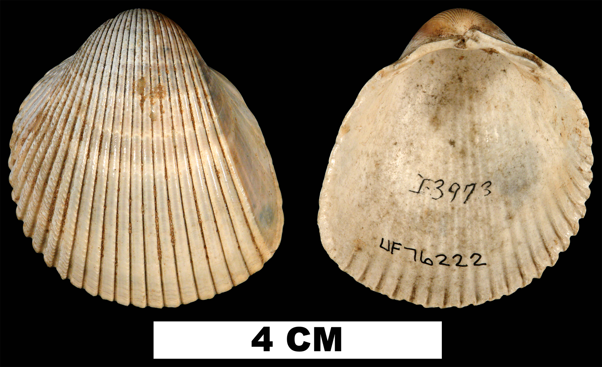 <i>Dinocardium chipolanum</i> from the Early Miocene Chipola Fm. of Calhoun County, Florida (UF 76222).