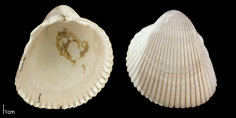 <i>Dinocardium robustum</i> from the Plio-Pleistocene Nashua Fm. of Putnam County, Florida (PRI 70647).
