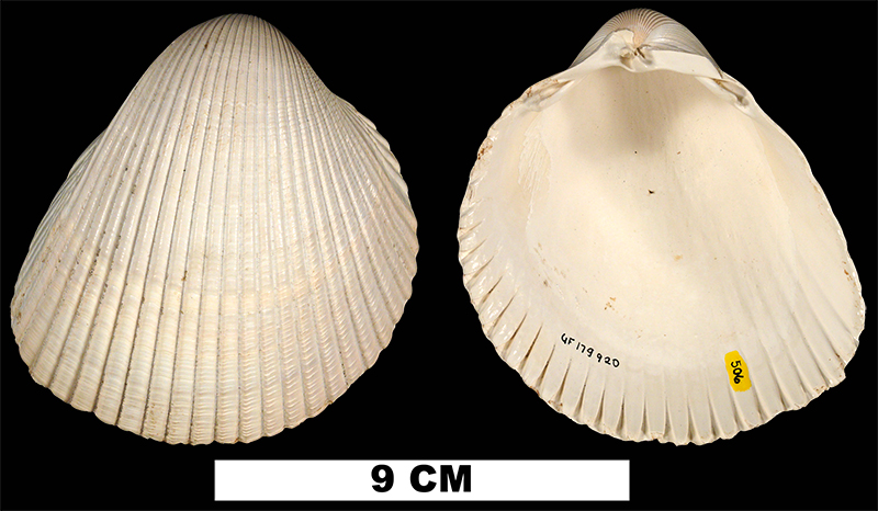 <i>Dinocardium robustum</i> from the Late Pliocene Tamiami Fm. (Pinecrest Beds) of Polk or Osceola County, Florida (UF 179920).